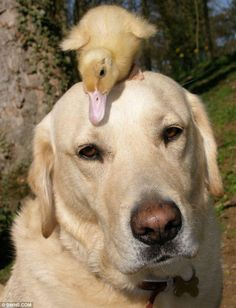An amazing animal friendship: Fred the Labrador retriever has adopted an orphaned duckling!
