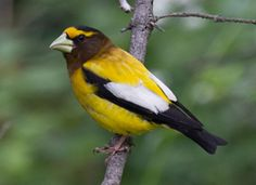 Evening Grosbeak. I've been told these birds don't like the selection of seed I have out and that is why I see so few of them.