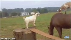 tolerant horse and goats (gif)