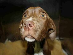 SAFE 4/4/13 Manhattan Center  FAITH - A0961125  FEMALE, BROWN / WHITE, PIT BULL MIX, 2 yrs, 9 mos Faith is sick and needs out now.  please consider adopting or fostering her before its too late https://www.facebook.com/photo.php?fbid=593200520692831=a.172404072772480.42595.152876678058553=1