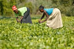 Democratic Republic of Congo: Women harvesting Chinese cabbage. As part of its urban and peri-urban horticulture project, FAO has provided farmers with improved-variety seeds and has rehabilitated irrigation and flood-prevention infrastructures.  ©FAO/Olivier Asselin  www.fao.org