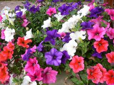 TRAILING-PETUNIA-MIX-Petunia-hybrida-pendula-900-fresh-seeds-no-1200