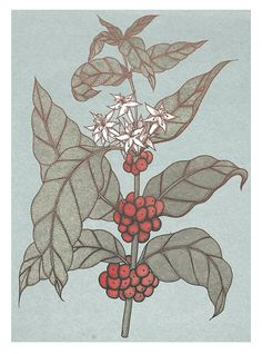 Coffee Botanical Illustration - Commission for the trading card game, Phylo. Prints available at my shop. Coffee Plant, Botanical Illustration, Card Games, I Shop, Logo, Flowers, Prints, Cards, Logos