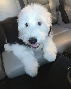 Old English sheepdog OES