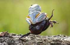 frog-riding-beetle-hendy-mp-4