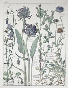 1910 Botanical Print by H. Isabel Adams: by PaperPopinjay on Etsy