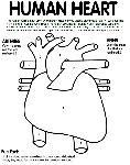 unlabelled heart diagram for children