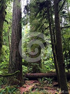 McMillan Park, a stand of ancient forest of giant cedars and other evergreens along Highway 4 between Parksville and Port Alberni, BC. Ancient forest area explaining the diversity that the forest offers in plants, insects and other vegetation.