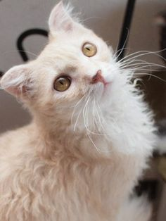 お洒落なラパーマ(東大宮・猫の部屋)の画像 | マロンの物語 feat.猫カフェ Cats