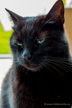 Beautiful black cat with green eyes