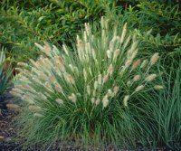 DWARF FOUNTAIN GRASS