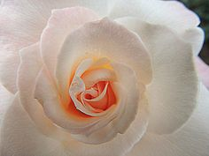 close to a white rose by dmguthery