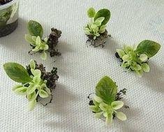 Cómo propagar la violeta africana desde sus hojas