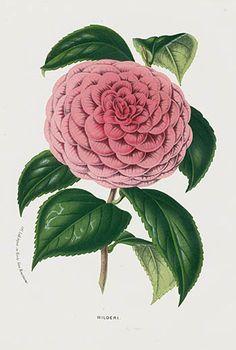 1845 Charles Lemaire, Louis Van Houtte Camellia Prints