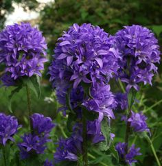 1000 Images About Purple Perennials On Pinterest Purple