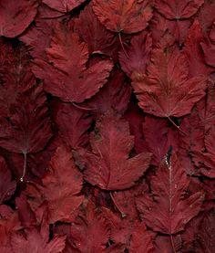 55685.01 Physocarpus opulifollius 'Monlo'   Flickr - Photo Sharing!