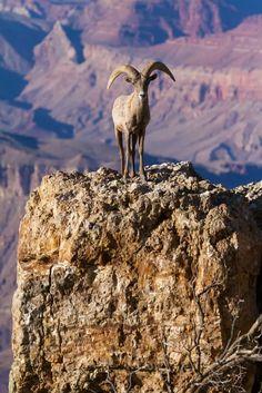 Desert Bighorn Sheep in the Grand Canyon