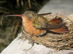 Cinnamon Hummingbird in Sian Kaan #betinatours www.betinatours