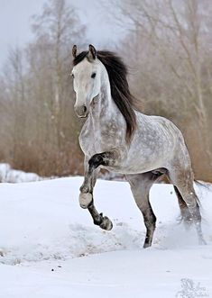POPULAR HORSES BREEDS IN THE WORLD - There are such a lot of horse breeds that it'd take a whole book to hide the topic. A breed for each purpose, horses are available in all shapes, colors, and sizes. Tranquil Self confidence Beautiful Creatures, Animals Beautiful, Cute Animals, Animals In Snow, Beautiful Horse Pictures, Most Beautiful Horses, Small Animals, Cute Horses, Horse Love