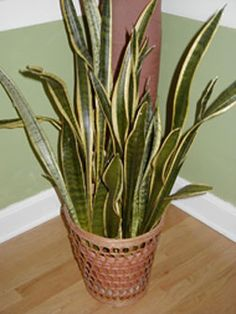 known as the snake plant and mother-in-law tongue, this is probably the most tolerant of all houseplants.  It will go without watering for weeks at a time, rarely needs fertilizing and is usually pest free.