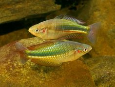 'Melanotaenia duboulayi: Crimsonspotted Rainbowfish (Bremer River) Photo © Gunther Schmida http://guntherschmida.com.au/ http://rainbowfish.angfaqld.org.au/Duboulay.htm'