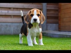 """Funny """"Beagley"""" Things! Why You Should Get A Beagle Dog. Episode #6 - YouTube"""
