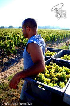 De la vigne au chai - reportage photo ! Chantegrive - harvest