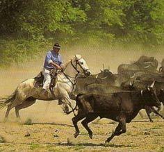France : en Camargue, gardian et sa manade (troupeau de taureaux)