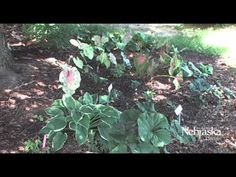UNL Extension Horticulture Assistant Kathleen Cue gives us tips on plants that thrive under trees.