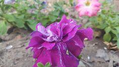 ازهار البتونيا Ptunia flowers