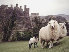 Irish castle and sheep