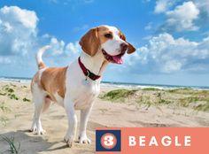 beagle puppies breeds, Dog Breeds