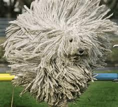 Dog looks like a Lincoln Longwool sheep! Google Image Result for http://www.oddee.com/_media/imgs/articles2/a97106_g073_7-mop-dog.gif