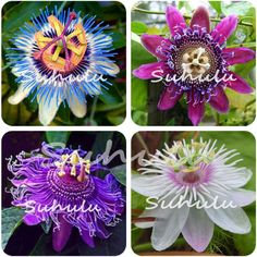 Aliexpress.com: Comprar 20 Unids Flor de La Pasión (Passiflora Incarnata) Certified Pure Semilla Vivo Tropical Flower Semillas para Jardín Siembra Bonsai árbol de flower seeds fiable proveedores en Whole Seeds Store