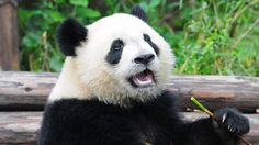 Giant Panda Facts and Pictures