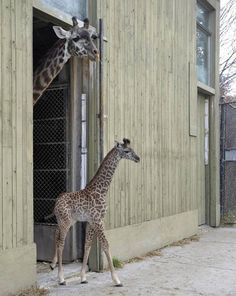 "Three-week-old masai giraffe ""Mstari"", which means ""stripes"" in Swahili, leaves the giraffe barn under the watchful eye of her mother Twiga ..."