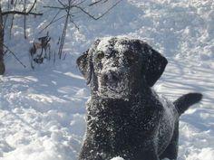 frosty, the black lab