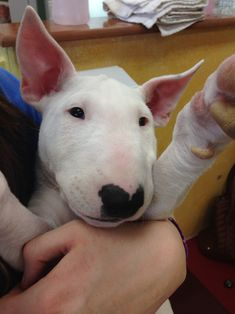 Bull terrier pup.  Adorbs.