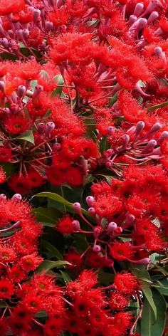 Plants of Australia - Red Flowering Gum Tree ** This is a stunningly beautiful photo of one of our most beautiful blossoms. Beautiful smell also. Australian Native Garden, Australian Native Flowers, Australian Plants, Trees And Shrubs, Flowering Trees, Trees To Plant, Exotic Flowers, Beautiful Flowers, Native Plants