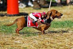 dachshund with a jockey