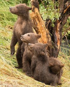 MiCaramel': Four brown bear cubs in diagonal line by nicholasdale Cute Baby Animals, Animals And Pets, Funny Animals, Wild Animals, Wildlife Photography, Animal Photography, Beautiful Creatures, Animals Beautiful, Yorky