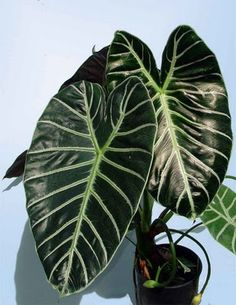 How For Making Your Landscape Search Excellent Alocasia Loweii Grandis