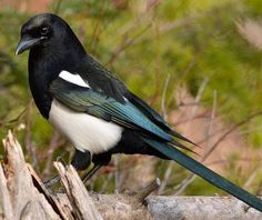 The Black-billed Magpie (Pica hudsonia) … is one of only four North American birds with a tail as long or longer than its body (the ot...
