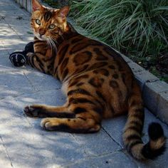 Some Bengals are generally talkative while others prefer to wait for the right time to communicate. Many Bengal Cats have an affinity for water and will enjoy ...