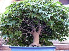 Drzewa Owocowe Ogród Autorstwa Paphio Anese Maple