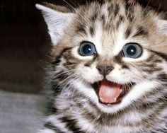 """Search Results for """"smiling cat wallpaper"""" – Adorable Wallpapers Cute Kittens, Cats And Kittens, Pretty Cats, Beautiful Cats, Animals Beautiful, Beautiful Pictures, Animals And Pets, Baby Animals, Cute Animals"""