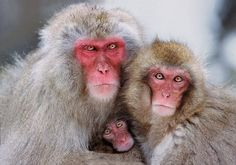 Steve Bloom (b. Johannesburg, South Africa) is a photographer and writer. He is best known for his photography books and essays, many . Primates, Book Photography, Wildlife Photography, Steve Bloom, Jigokudani Monkey Park, Magnificent Beasts, Monkey Business, Creature Design, Old World