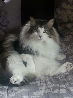 6 year old male Maine Coon Max posing for a picture. I Love Cats, Crazy Cats, Cute Cats, Kitty Cats, Cats And Kittens, Animals And Pets, Cute Animals, Maine Coon Kittens, Norwegian Forest Cat