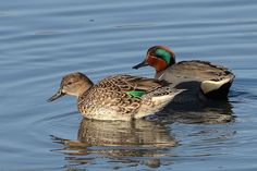 Teal - Green-winged Teal duck by ottersdontflush, via Flickr. Male and female different; males are gray with a chestnut-colored head with a green blaze extending from the eye across the side of the head; females colored similar to a female Mallard with a distinctive green speculum. Nesting area, Alaska, northwest Canada across southern Canada, and western United States (Ducks of the World)