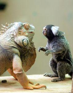 """Green Iguana and Marmoset ~ Miks' Pics """"Animals l"""" board @ http://www.pinterest.com/msmgish/animals-l/"""